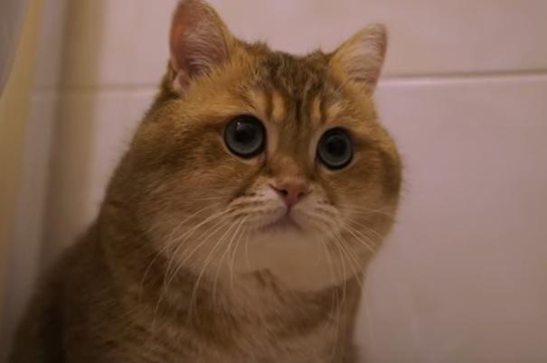 Кот шотладец