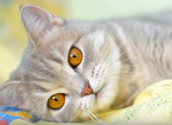 Прямоухая шотландская кошка