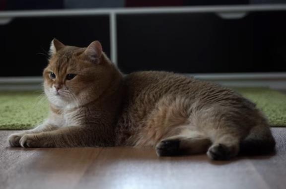 Скоттиш-страйт кот