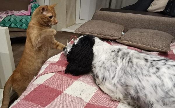 Как подружить собаку кошку