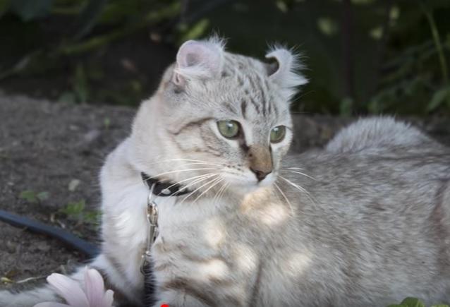 Порода кошек хайлендер