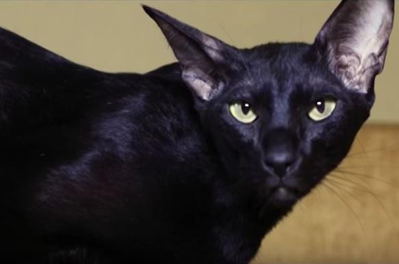 Ориентал кошка