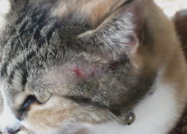 проявление аллергии у кота