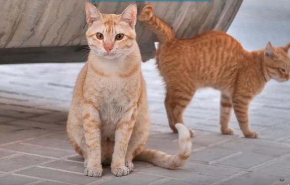 Арабский кот