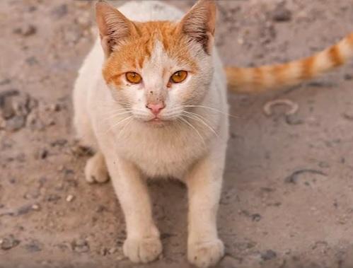 Аравийская кошка