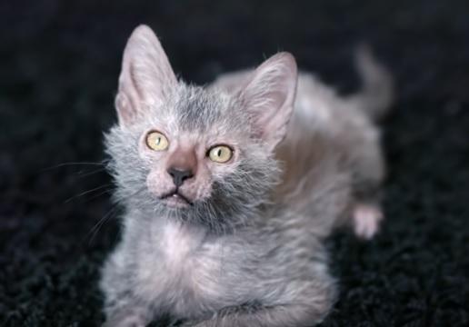 Ликой котенок