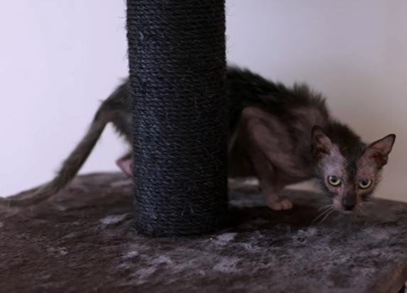 Кошка оборотень