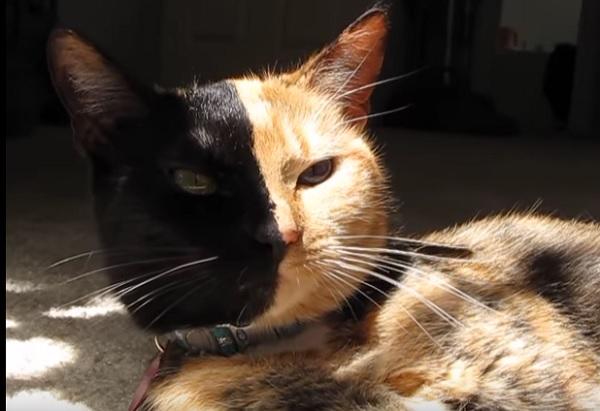Трехшорстные кошки