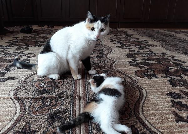 Кошки окраса триколор