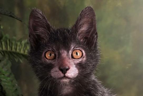 Кот-оборотень ликой