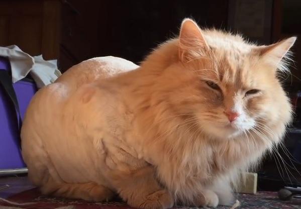 Стрижка кота лев