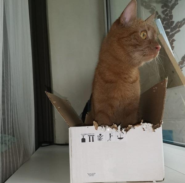 Кот в картонной коробке
