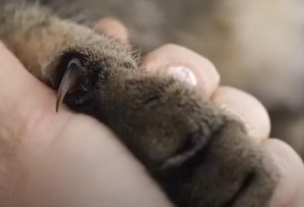 Кошачий коготь