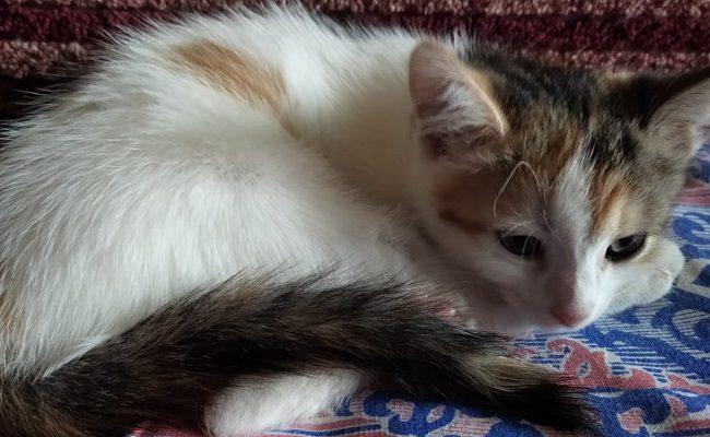 Калицивирус у котенка
