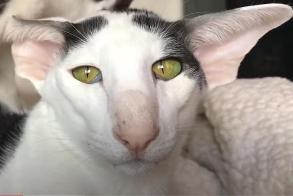Восточный короткошерстный кот