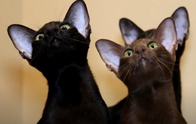 Кошки ориенталы