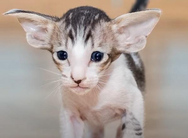 Котенок ориентал