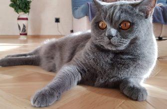 Стерилизация кошки в течку