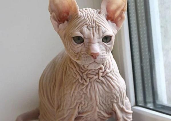 Гавайская бесшерстная кошка
