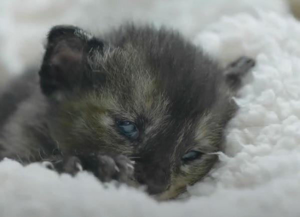 Глаза новорожденного котенка