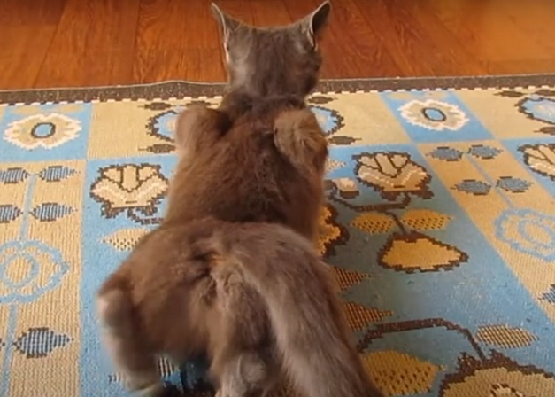 Поза кошки при течке