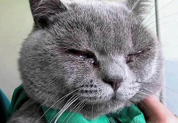 Текут глаза у кота