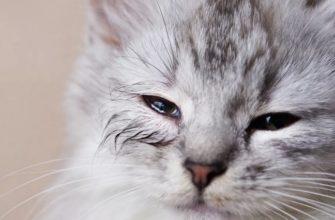 Текут глазки у кошки