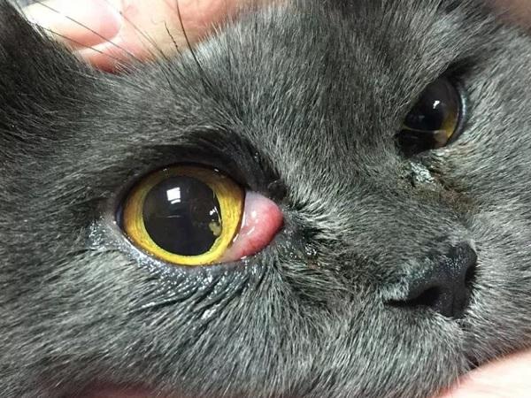 Выпадение железы третьего века у кошки