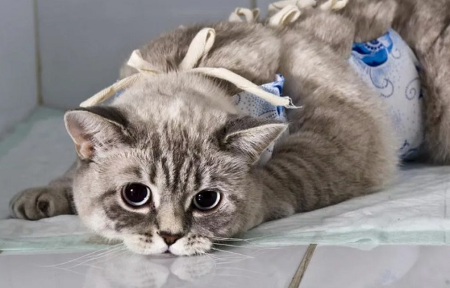 уход за стерилизованной кошкой